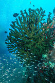 Coral and fish underwater in Similan Islands, Thailand — Стоковое фото