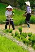 ラオカイ乗車、ベトナムでは、6 月 10日: 正体不明の農家で働いて米 fi — ストック写真