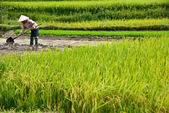 LAOCAI, VIETNAM, JUN 11: Unidentified farmers working in rice fi — Stock Photo
