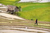 Mu Chang Chai, VIETNAM, JUN 11: Unidentified farmers working in  — ストック写真