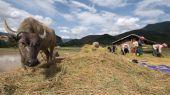 Większość pięknych tarasach z buffalo w Tule, Mu Cang Cha — Zdjęcie stockowe