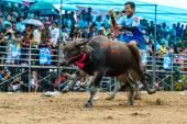 Účastníci buffalo závodní festival spustit v 143th Buffalo Racing Chonburi 2014. — Stock fotografie