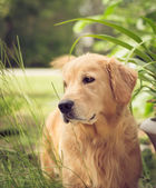 Golden Retriever — Stock Photo
