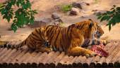 Lying tiger with a piece of raw meat — Stock Photo
