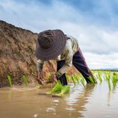 Farmer planting on the terraced rice field — Stock Photo