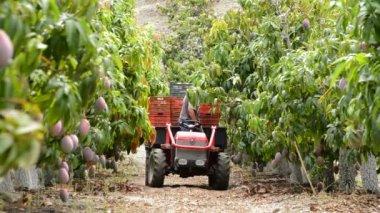 Plantation of mango fruit trees — Stock Video