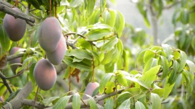 Mangos fruit hanging at branch — Stock Video