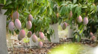 Mangos tropical fruit in plantation — Stock Video