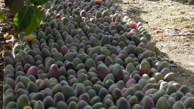 Mango fruits in differents moments of the harvest — Stock Video
