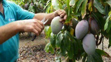 Mango fruit in differents moments of the harvest — Stock Video