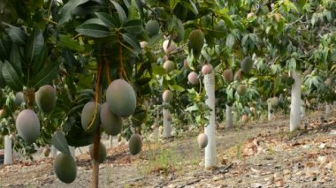 Plantation of mango trees — Stock Video