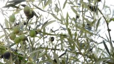 Olives fruit at branch of tree — Stock Video