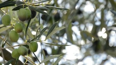 Olives fruit at branch of tree — Stockvideo