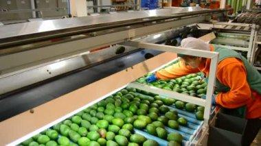 Women sorting avocados — Stock video