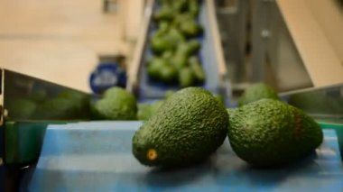 Avocados in a packaging line — Stock Video
