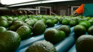 Avocados in packaging line — Stock Video