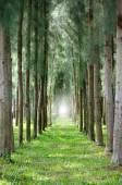 Row of pine trees — Stock Photo