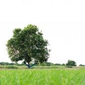 Tree isolated  — Stock Photo