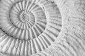 Ammonite prehistoric fossil — Stock Photo