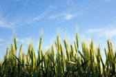 Close up flowering green wheat field on background blue sky — Stock Photo