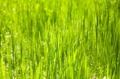 Green grass nature background closeup, natural daylight — Stock Photo