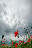 Storm clouds over a field of blossoming red poppies — Stock Photo