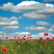 Flowering red poppies on a background of white clouds and sky — Stock Photo #70117123