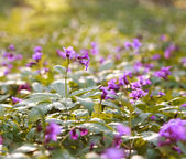 Closeup wild violet flowering meadows, in a spring forest  — Stockfoto