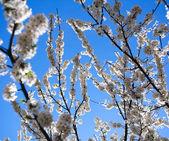 Çiçekli dallar ağaç bahar, arka planda gökyüzü — Stok fotoğraf