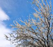 Flowering branches of trees in spring, on background the sky — Stock Photo