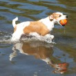 Brown and White Jack Russell Terrier in Water with Ball — Stock Photo #52020171