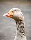 Greylag Goose Aggressively Guarding Her Territory — Stock Photo