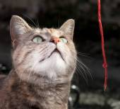 Tortoiseshell Tabby Cat Playing with Red String — Stock Photo