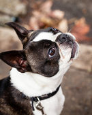 Purebred Boston Terrier Dog Looking Up on the Street — Stock Photo