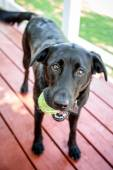 Black Labrador Retriever Dog With Ball Wanting to Play Fetch — Stock Photo