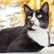 Постер, плакат: Alert Black and White Cat Sitting on Car Looking Outward