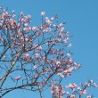 Pink Cherry Blossoms Against Blue Sky in Spring — Stock Photo #54564007