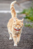 Ginger Tabby Cat with Red Collar Walking on Sidewalk — Stock Photo