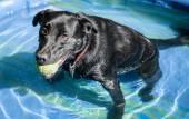 Black Labrador Retriever Dog with Ball in Small Pool — Stock Photo