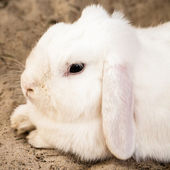 White Lop Eared Domestic Rabbit Lying Down on Sand — Stock Photo