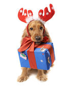 dog with horns gives a gift — Stock Photo