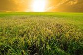 Experimental rice farm ( transgenic test) — Stock Photo