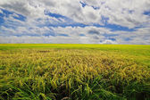 The rice farm in the country, Agricultural site in, Thailand — Foto de Stock