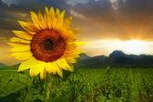 Sunflower at thailand — Stock Photo