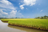 Rice field and drops,landscape in thailand — Stock Photo
