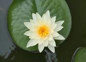Vita lotus — Stockfoto