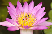 Pink water lily with bee  — Foto Stock