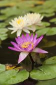 Pink and white lotus or water lily — Stock Photo