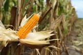Corn on the stalk in the field — Stock Photo