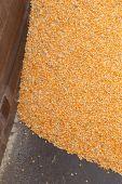 Pile of raw kernel corn beans — Stock Photo